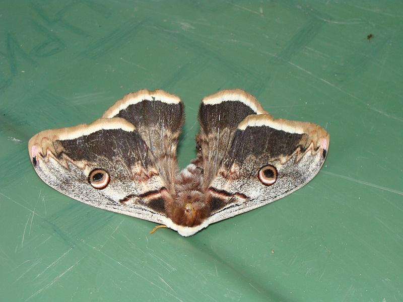 Motyl Macedonia